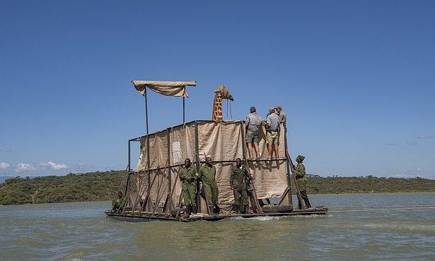 В Кении спасают тонущих жирафов.Вокруг Света. Украина