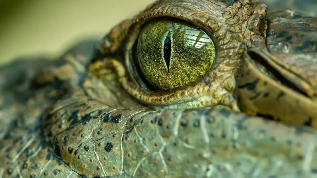 В Австралии опознали «короля болот»: огромного древнего крокодила