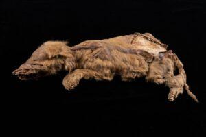 В Канаде исследовали древнейшую мумию волчонка