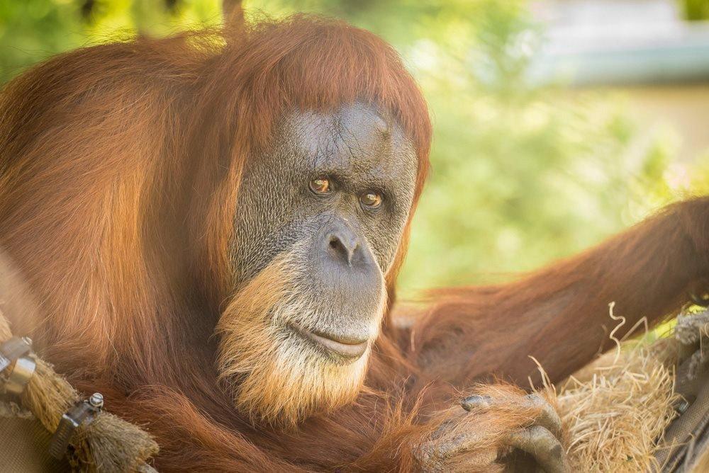 Умерла старейшая в мире самка орангутана.Вокруг Света. Украина