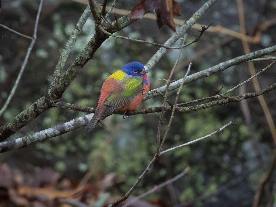 В США толпы орнитологов ринулись на поиски редкой расписной овсянки