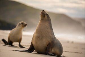 В Новой Зеландии перекрыли трассу, чтобы морские львы могли ходить на пляж