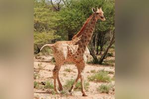 Зоологи впервые описали редчайших карликовых жирафов