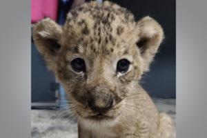 В Сингапурском зоопарке впервые родился львенок из пробирки