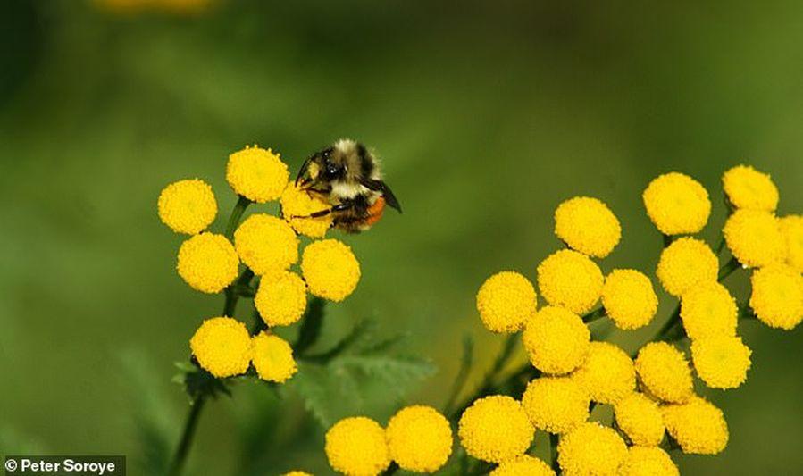 За последние 30 лет в мире исчезла четверть видов диких пчел