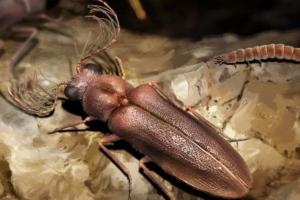 Древнейший предок светлячка найден застывшим в янтаре
