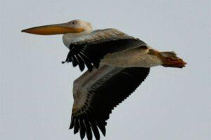 В Аскании-Нова обнаружили зимующего пеликана