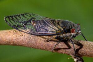Австралию атаковали полчища цикад