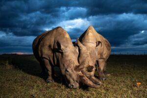Можно ли спасти северных белых носорогов от исчезновения?