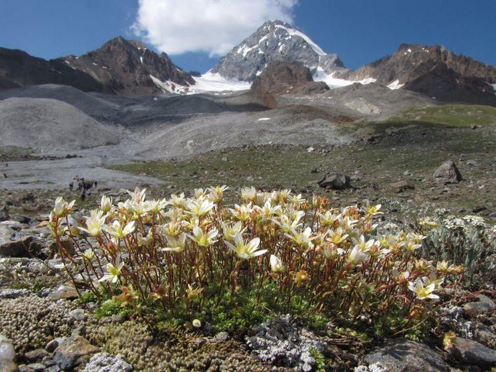 Таяние ледников грозит вымиранием редким альпийским растениям.Вокруг Света. Украина
