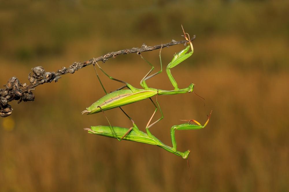 Самцы богомолов научились выживать после спаривания