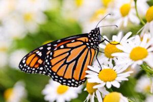 Энтомологи рассказали, зачем бабочки хлопают крыльями