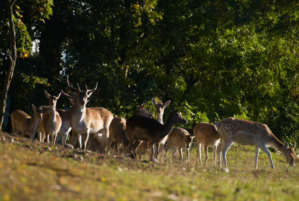 Леса Британии перенаселены оленями, так как на них перестали охотиться