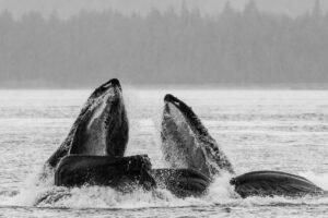 Горбатые киты в Северной Атлантике голодают из-за глобального потепления