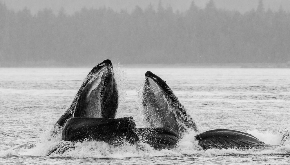 Горбатые киты в Северной Атлантике голодают из-за глобального потепления.Вокруг Света. Украина