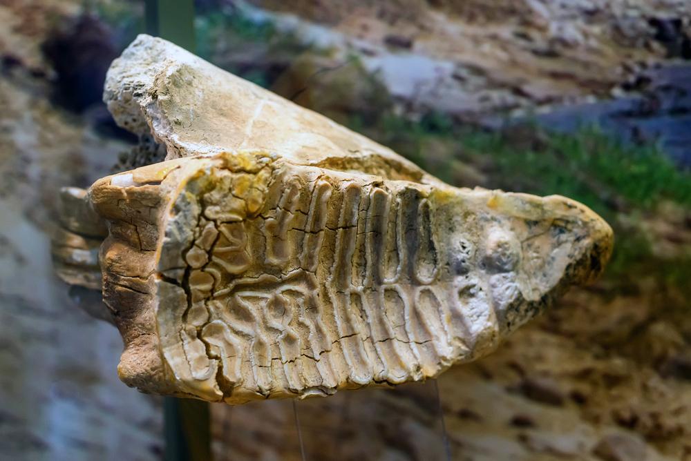 В Черновицкой области нашли зуб мамонта