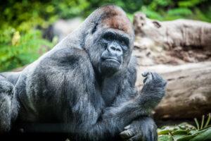В США впервые в истории гориллы заболели COVID-19
