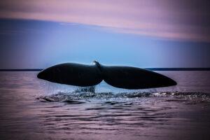 В Атлантике начала расти популяция редких китов, которых осталось меньше 400