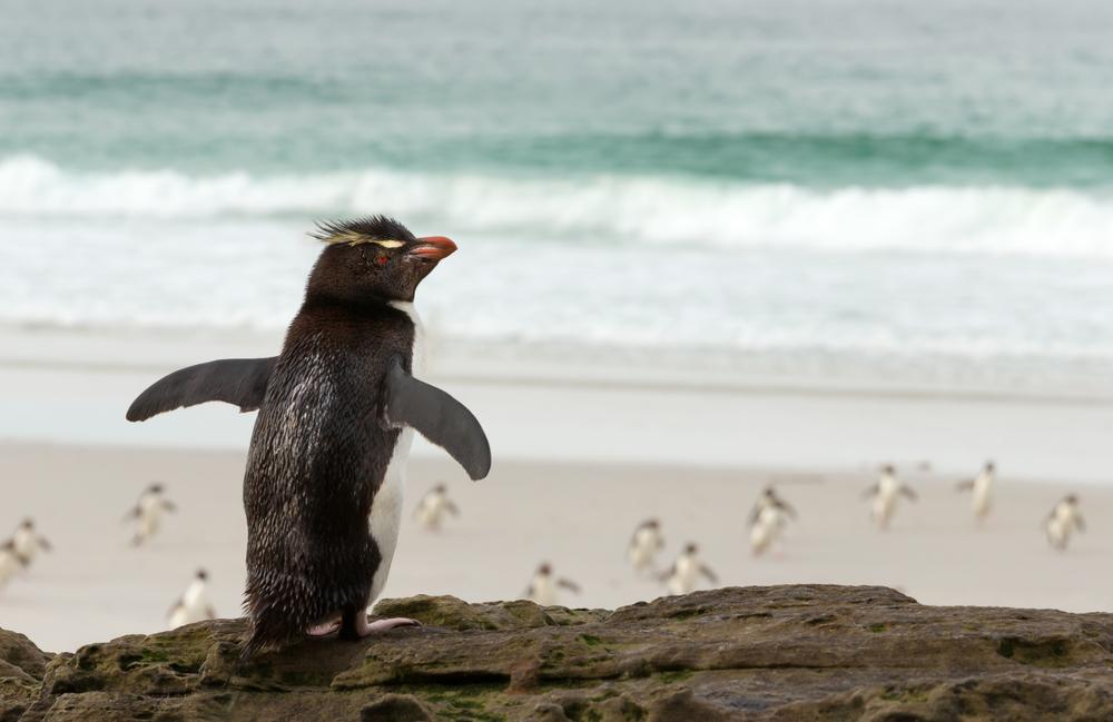 Перепутавший стаю хохлатый пингвин растрогал пользователей сети: видео