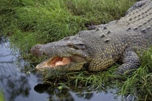 Австралиец вырвался из пасти крокодила