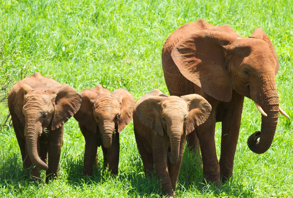 Спутники посчитают африканских слонов ради их сохранения