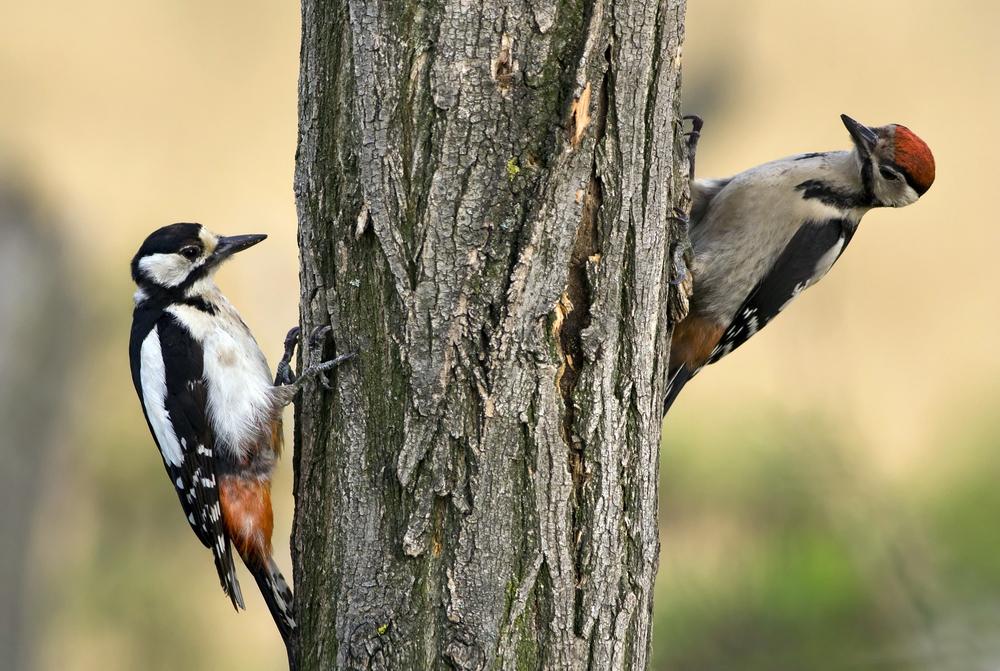 Почему дятел не застревает клювом в дереве