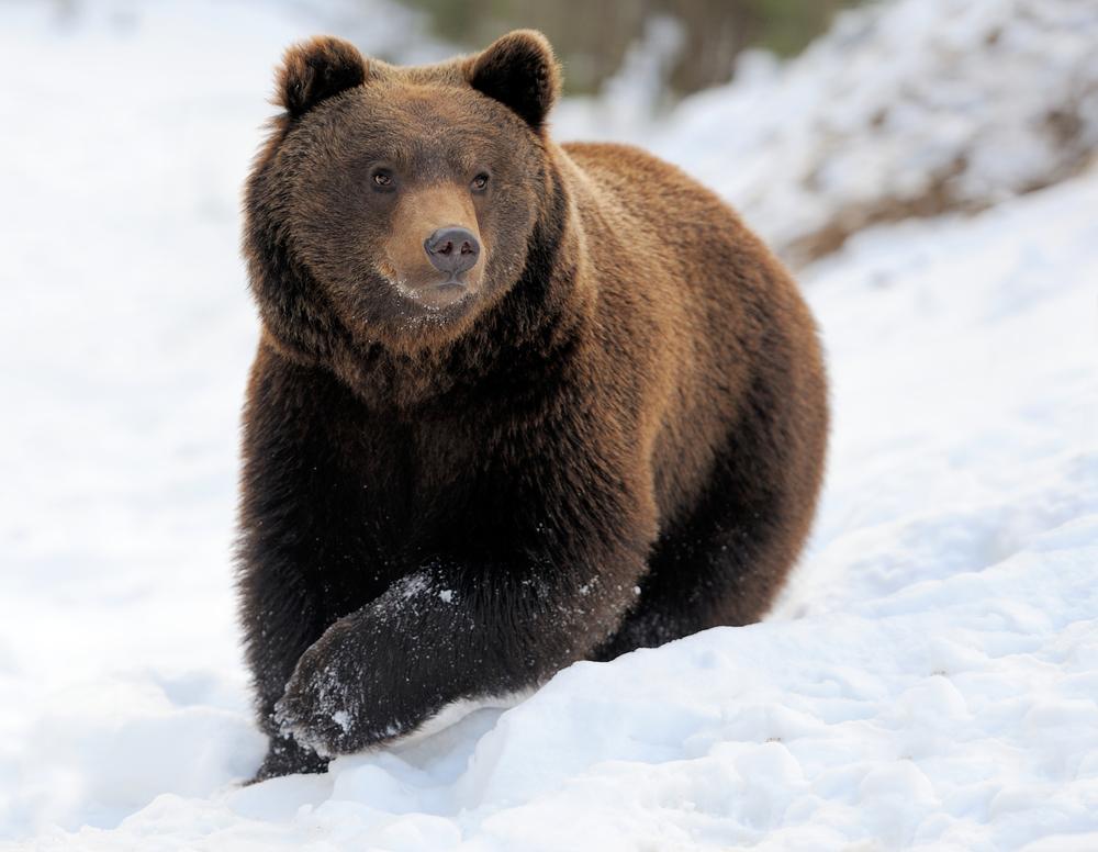 На румынском курорте медведь погнался за лыжником.Вокруг Света. Украина
