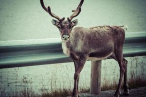 В Швеции построят мосты для оленей