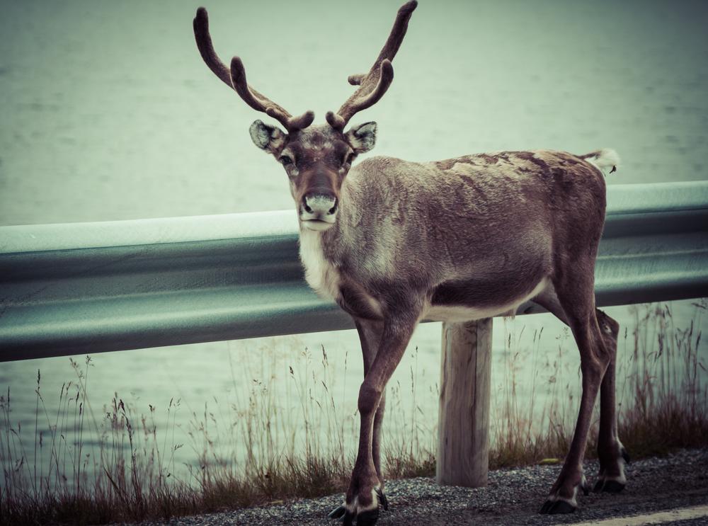 В Швеции построят мосты для оленей.Вокруг Света. Украина