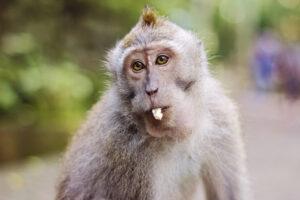 На Бали макаки грабят и шантажируют туристов