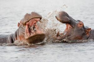 В Колумбии истребят бегемотов Пабло Эскобара