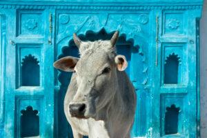 В Индии студенты и школьники сдают экзамен на знание коров