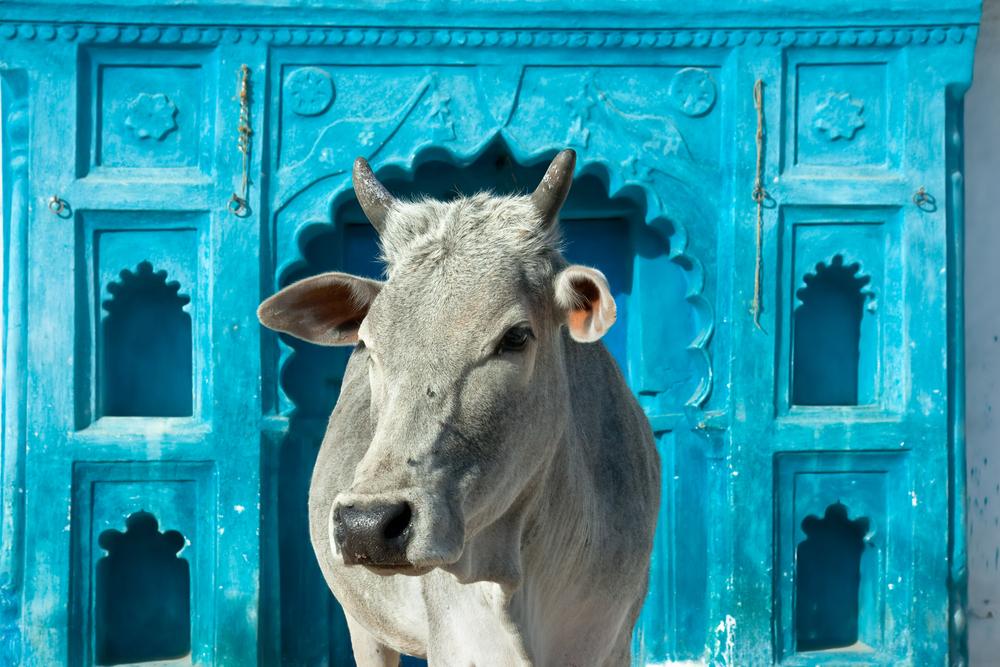 В Индии студенты и школьники сдают экзамен на знание коров.Вокруг Света. Украина