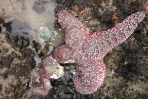 Выявлена причина массовой гибели морских звезд