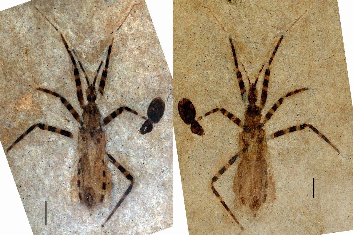 В США нашли окаменелости жука с гениталиями