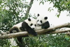 Зоопарк Эдинбурга планирует вернуть панд в Китай: слишком дорого обходятся
