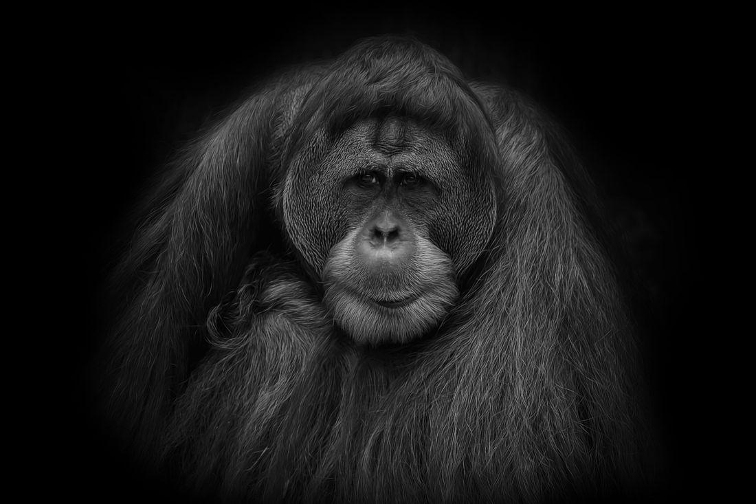 Орангутанам Тапанули грозит вымирание из-за постройки ГЭС на Суматре.Вокруг Света. Украина