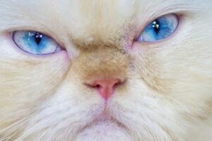 Некоторые породы кошек не могут нормально выражать свои эмоции