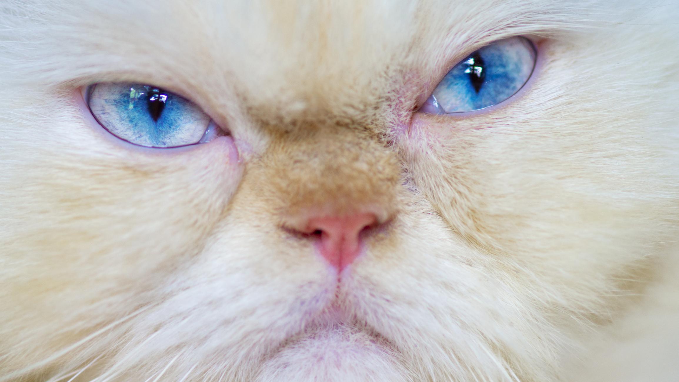 Некоторые породы кошек не могут нормально выражать свои эмоции.Вокруг Света. Украина