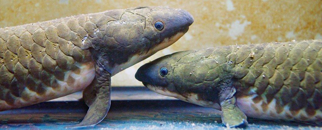 Расшифрованный геном двоякодышащей рыбы поможет понять, как мы вышли на сушу
