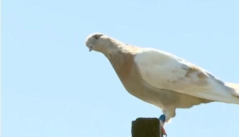 В Австралии собираются усыпить голубя, который перелетел через океан
