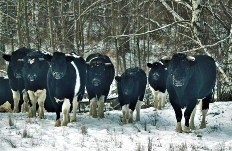 В Чернобыле коровы сбились в стадо под предводительством альфа-самца