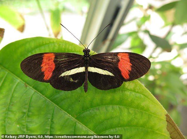 Ревность у бабочек: чтобы не досталась больше никому.Вокруг Света. Украина