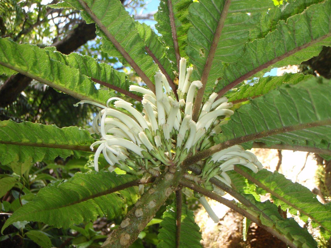 На Гавайях нашли единственный в мире цветок.Вокруг Света. Украина