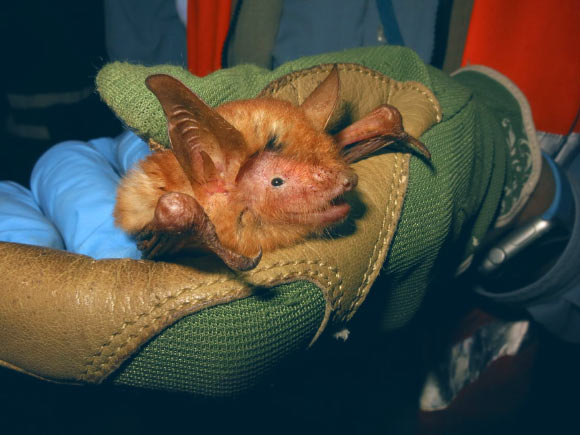 В Гвинее нашли новый вид ярко-рыжих летучих мышей