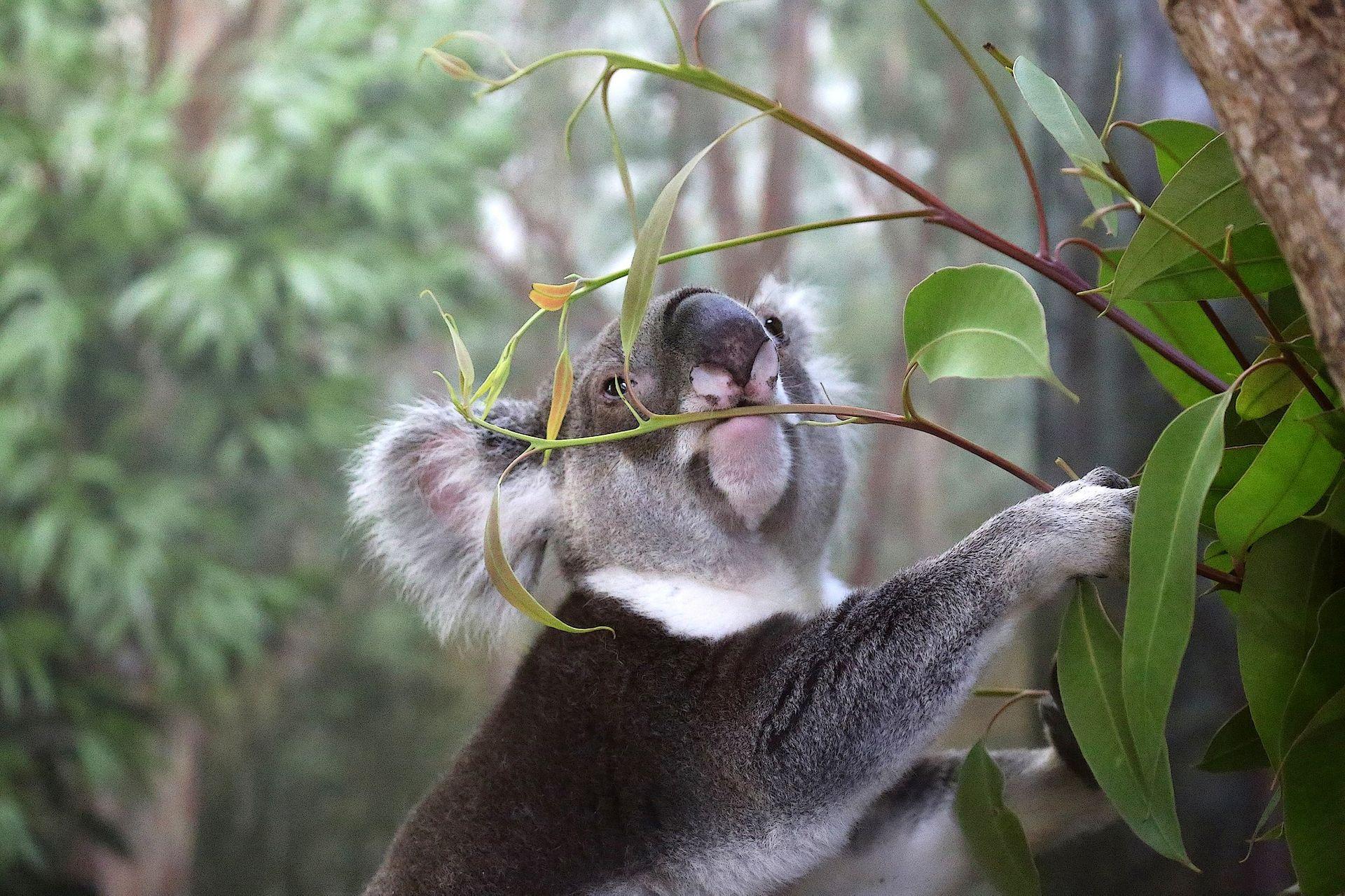 Рождаемость у коал контролируют ради сохранения эвкалиптовых лесов