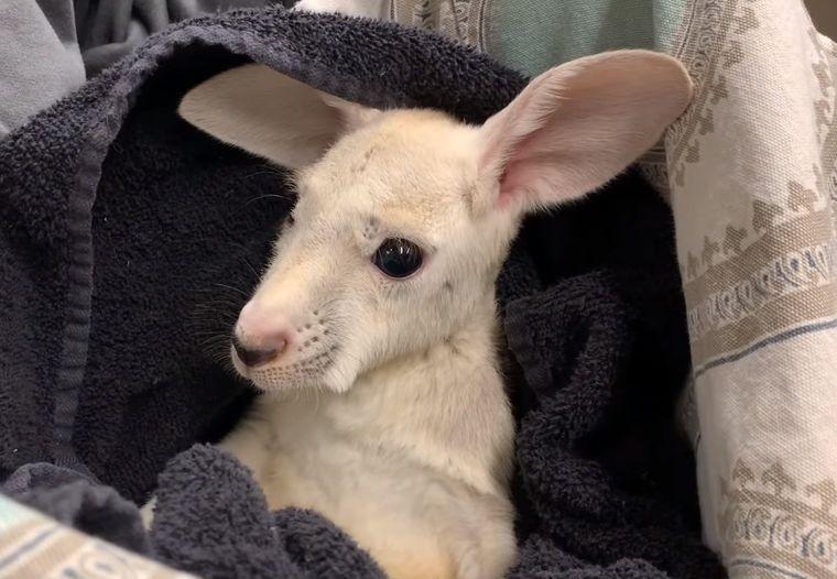 В Нью-Йорке родился уникальный белый кенгуру