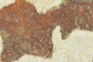 Обнаружена окаменелость предка морской звезды возрастом 480 миллионов лет