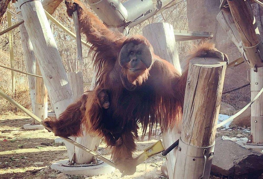 Орангутанг из зоопарка Денвера трогательно заботится о своей двухлетней дочери