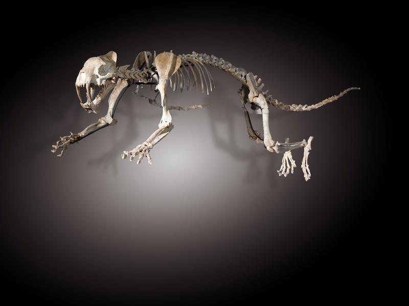 Скелет саблезубой кошки отреставрировали с помощью 3D-принтера.Вокруг Света. Украина